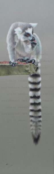 Ring-Tailed Lemur_1024_wm